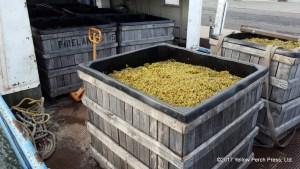 North Bass Island grapes