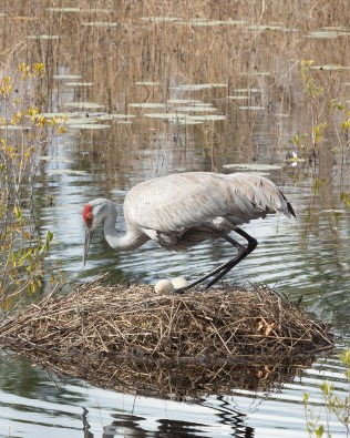 photo of Sandhill Crane Lowering onto two eggs in the nest