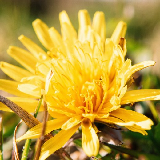 spring cleansing, dandelion liver, spring cleanse, cleanse detox, fasting