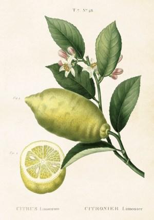 Sitruuna opetustaulu juliste