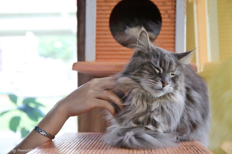 【元氣貓主題咖啡館】士林區。就不信你有辦法專心!台北最多緬因貓咖啡館❤