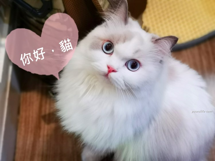 【你好,貓】板橋區。超萌!新埔站貓咪輕食館,曼赤肯、布偶貓、緬因貓陪你下午茶❤
