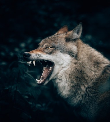 Aggressive wolf snarling