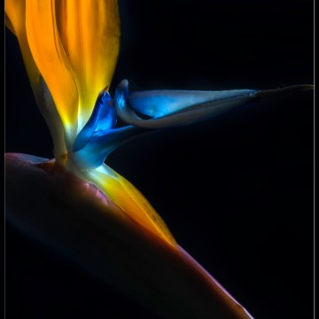 "Bird of Paradise by Barbara Brundage, Photography 6.5"" x 8.5"""