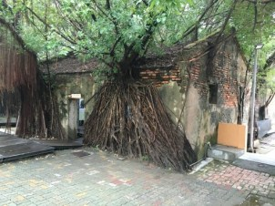 This is what happens when you let a little banyan tree grow in your front yard.