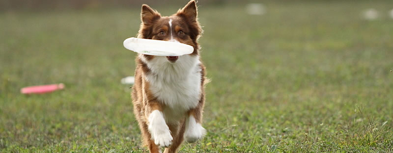 Improving Your Disc Dog's Retrieve Speed in Toss and Fetch