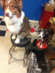 boston terrier on frisbee