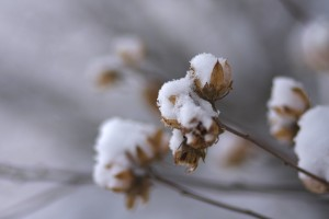 snow on dried flowers