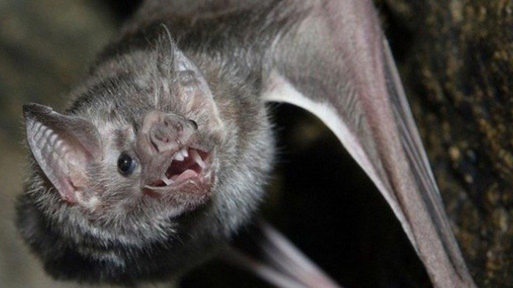 Confirman la aparición de un murciélago con rabia