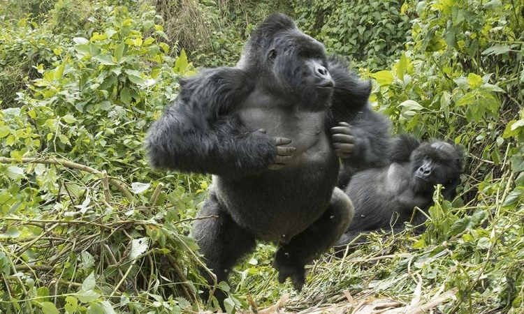 What happens if you start pounding your chest in front of a gorilla? /  Taklimakan Network