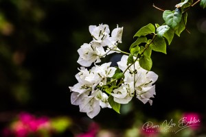 Bougainvilliers blancs (Bougainvillea spectabilis)