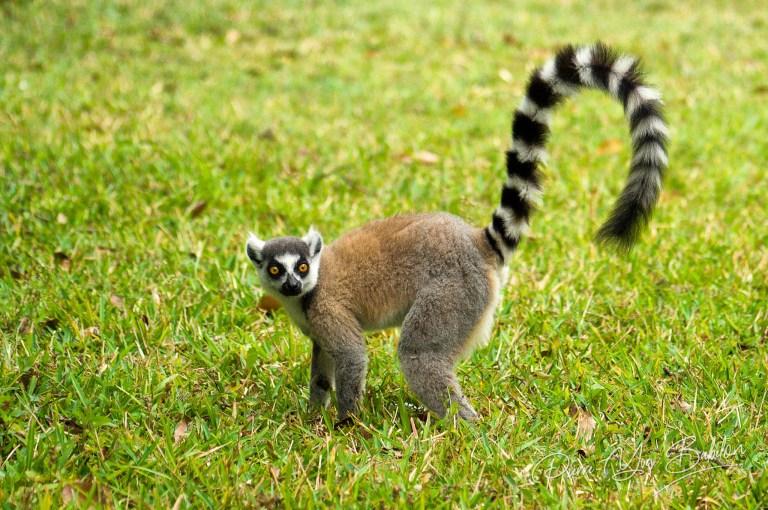 Male Lemur Catta