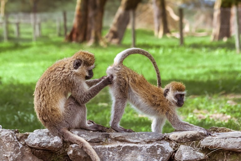Two african monkeys