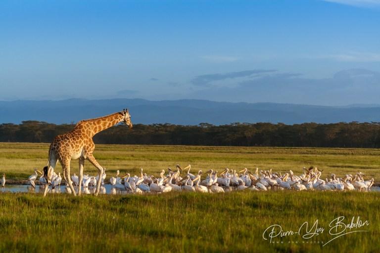 Girafe et pélicans