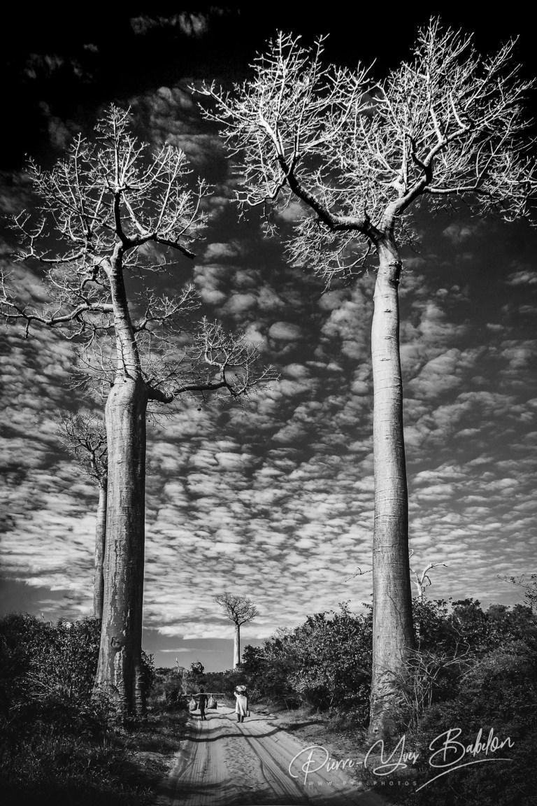 Gigantiesques baobabs
