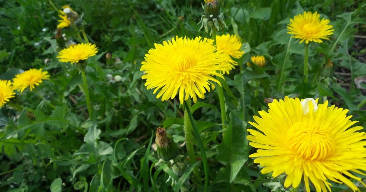Diente de león: 9 usos y propiedades de esta planta medicinal