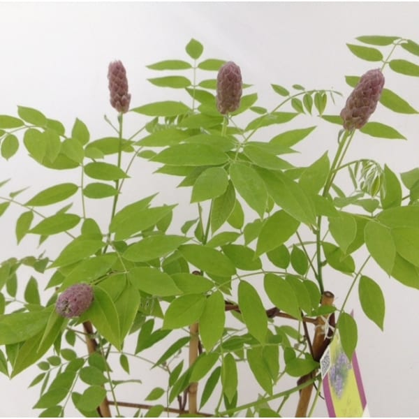 Wisteria Amethyst Falls which is a fast growing climber ideal for cover walls.