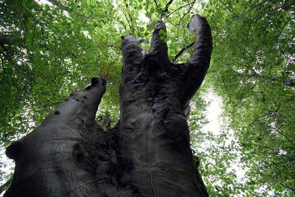 Selbst Zwiesel haben im Urwald beeindruckende Ausmaße.