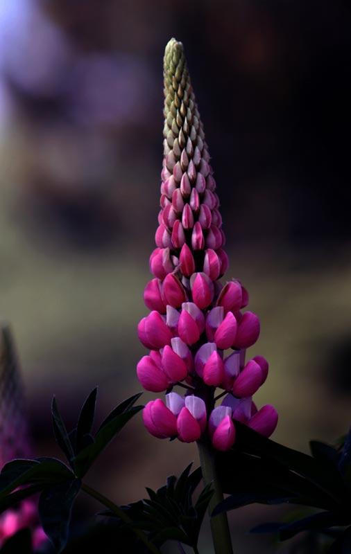 3. Juni: Lupine - meine Lieblingsblume