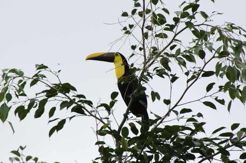 Nationalsymbol von Costa Rica: Der Tukan.