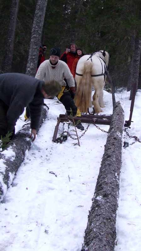 Die geschlagenen Stämme werden mit Pferden aus dem Wald gezogen.
