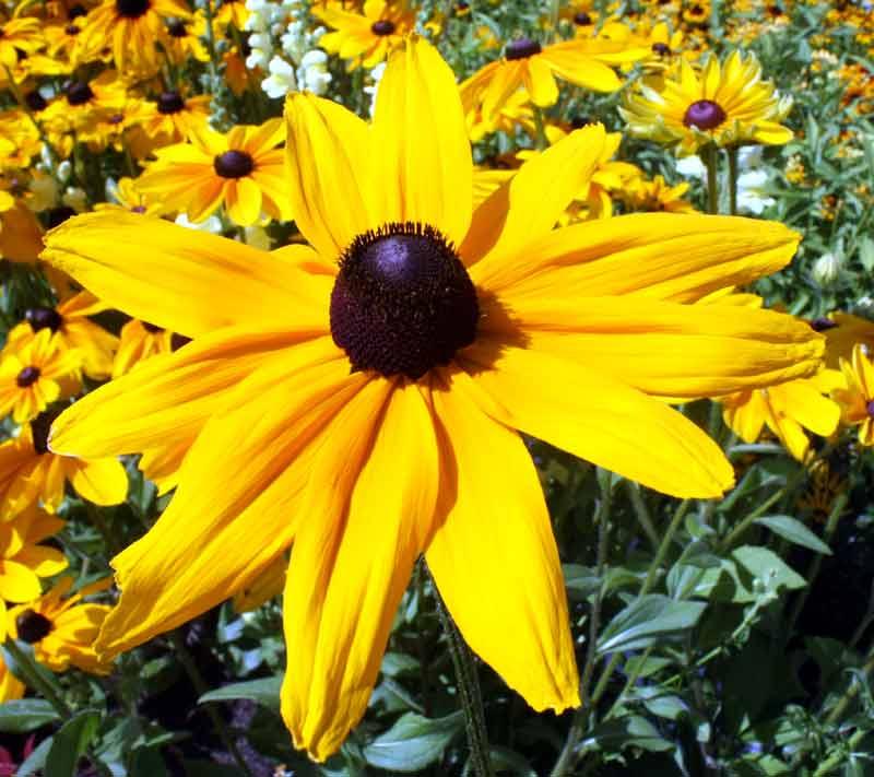 5. August: Was für ein Gelb! Gefunden auf der Internationalen Gartenschau in Hamburg.