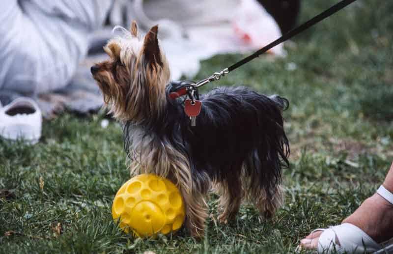 Yorkshire-Terrier - ein typischer Kandidat für Hunde-Spitznamen. Foto: Dierk Haasis