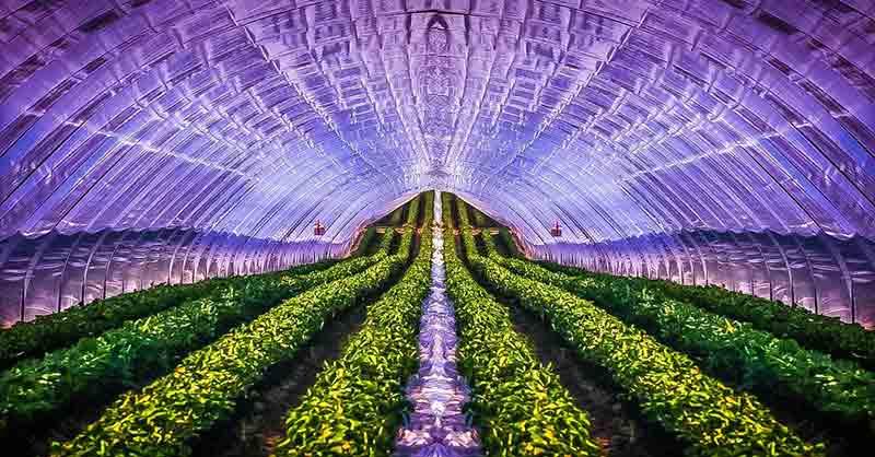 Folientunnel mit Erdbeeren