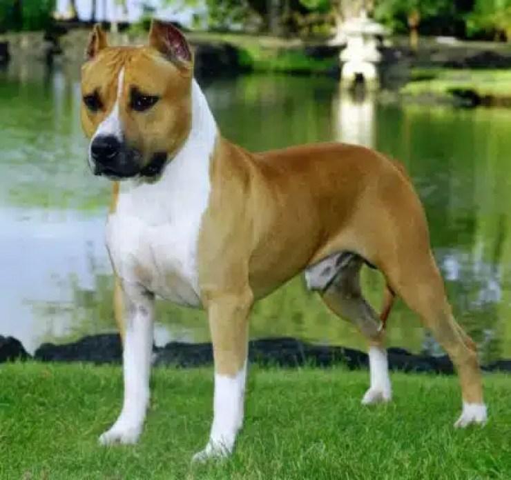 El Amstaff es una raza canina que pertenece al grupo Terrier descendiente del Staffordshire Bull Terrier.