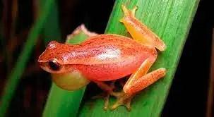 anfibios sudamericanos