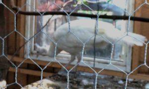 vit påfågel