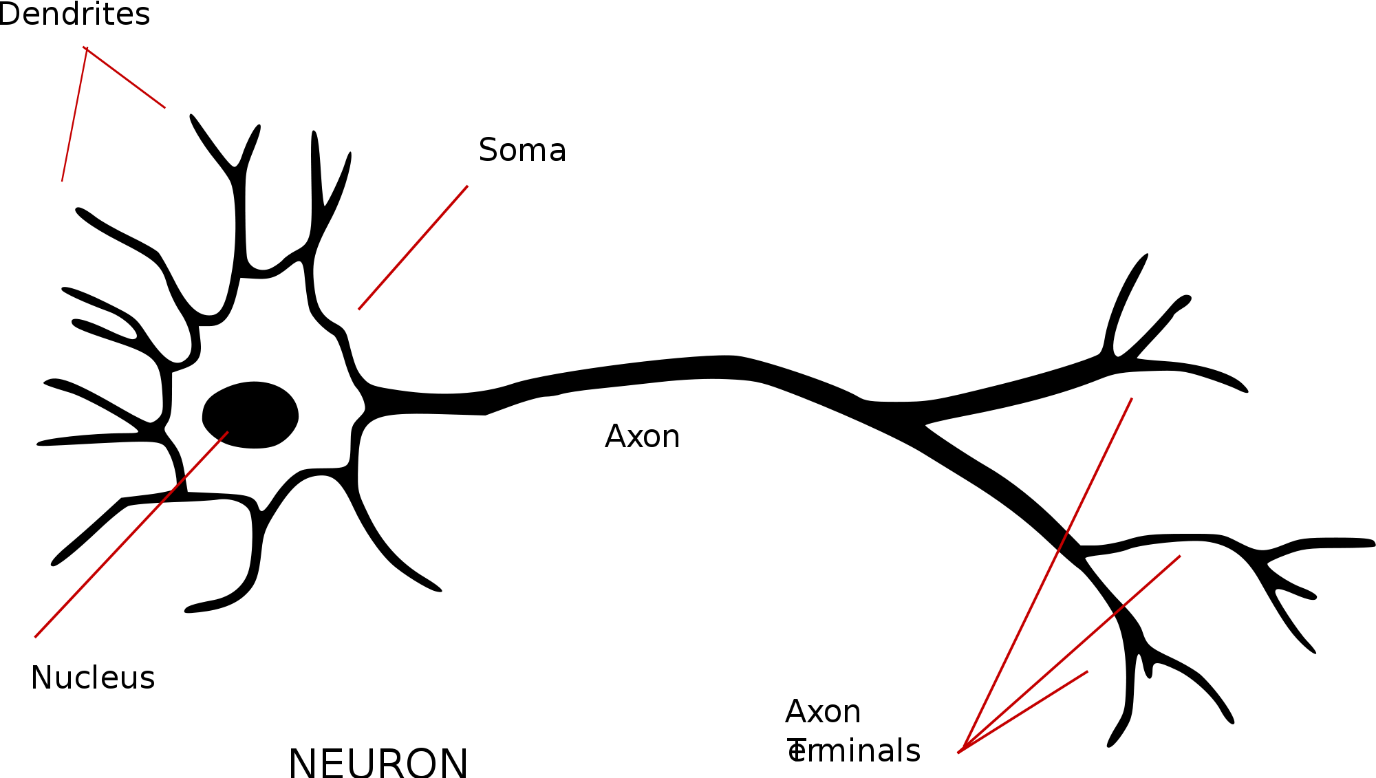 hight resolution of to better understand the motivation behind the perceptron we need a superficial understanding of the structure of biological neurons in our brains