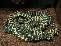 Breeding Carpet Pythons - Pythons Review