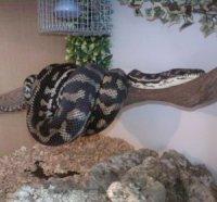 Coastal Carpet Python Viv Size - Carpet Vidalondon