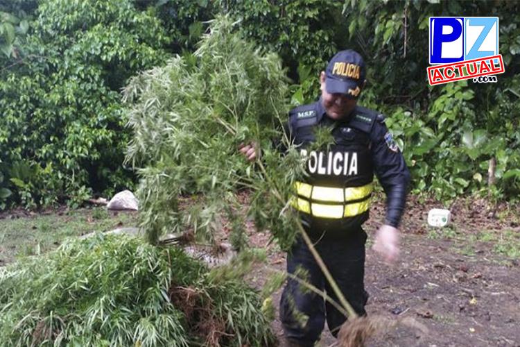 Destrucción de la marihuana por parte de Fuerza Pública www.pzactual.com