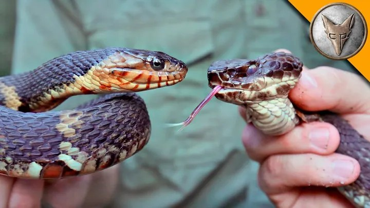 cottonmouth-vs-water-snake