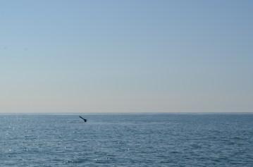 Une queue de baleine !