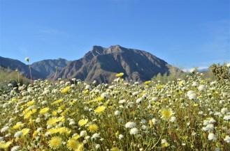 Desert Pincushions & Desert Dandelions