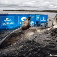 Q SCOOP - L'énorme requin blanc Nukumi traverse actuellement l'Atlantique en direction de l'Europe