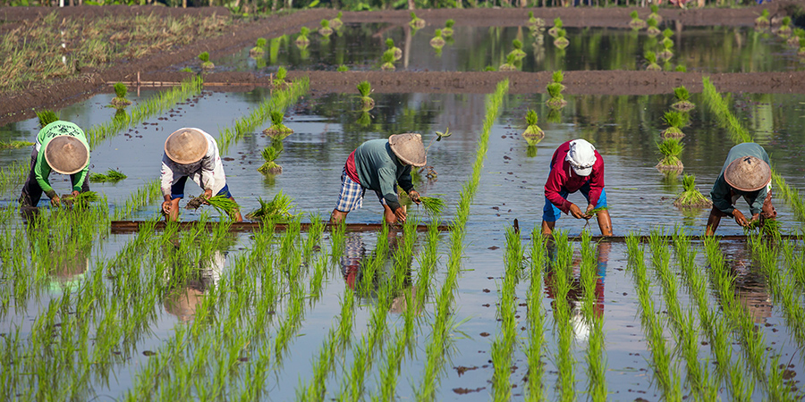 water-consumption-agriculture-rice