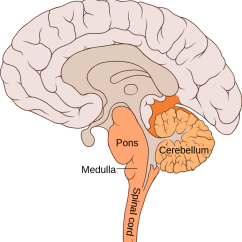 Lower Brain Diagram Gmc Radio Wiring Diagrams The Hindbrain Queensland Institute University Of Developmentally Derived From Rhombencephalon Is One Three Major Regions Our Brains Located At Back Part
