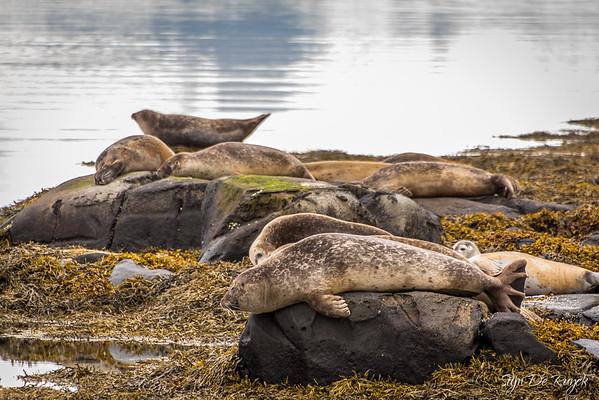 Seals at Skötufjördur, Westfjords