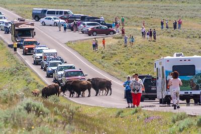 Bison jam in Hayden Valley, Yellowstone National Park