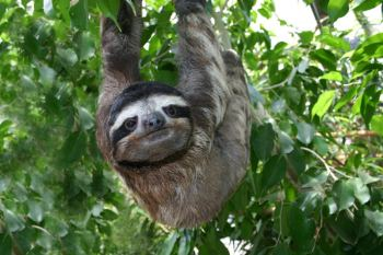 Linus_three-toed_sloth