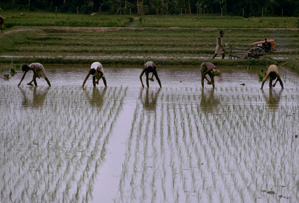 Egyptian Invention Cuts Rice Irrigation Water