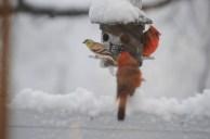 Cardinals & Goldfinch