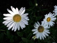 Garden Flowers-8