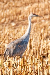 Sandhill Crane Feeding in Farmers field.