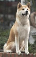 What Type Of Dog Is Hachi : hachi, About, Movies?, Scored