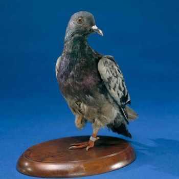 Cher Ami, eroico piccione della Seconda Guerra Mondiale